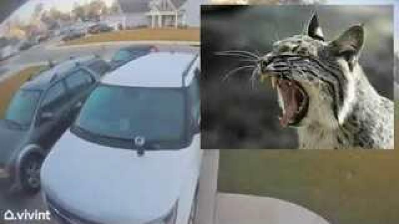 Bobcat Attack - Dad Jumps Into Action amp; Saves The Day - Good Reactions